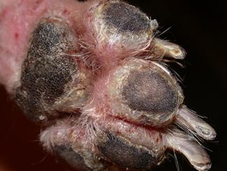 Dermatology Clinic for Animals » Pemphigus Foliaceus