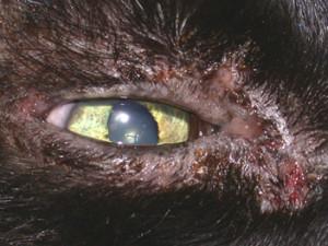 Keratitis Cats Eyes