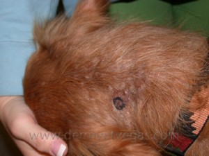 A dog with sebaceous adenitis