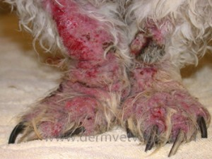 A dog with demodicosis